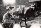 Nellie milking a cow